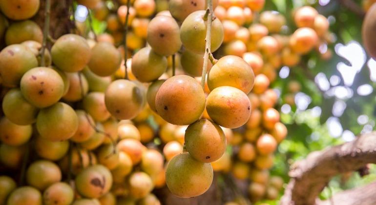 লটকন বাগান নরসিংদী