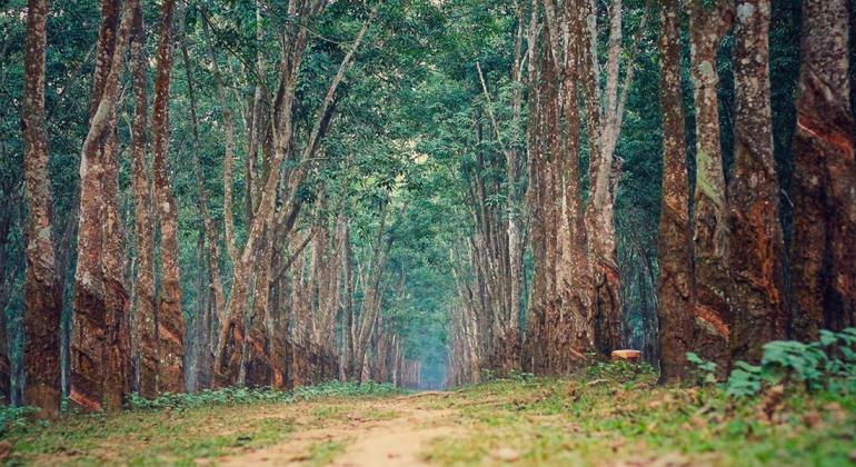 পীরগাছা রাবার বাগান টাঙ্গাইল